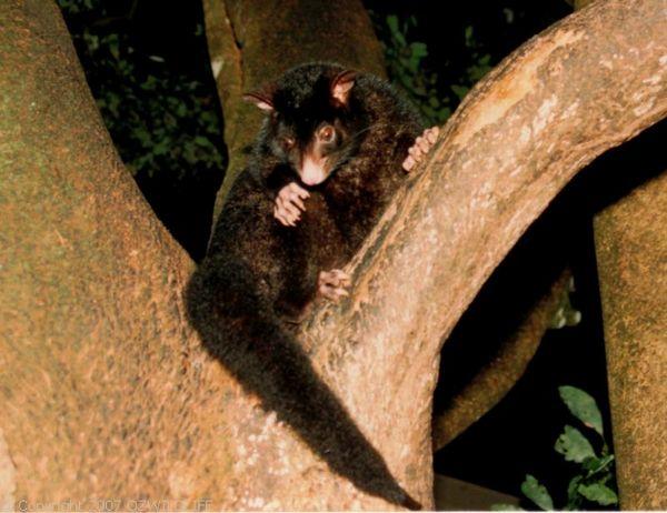 Mountain Brushtail Possum   Trichosurus cunninghami photo