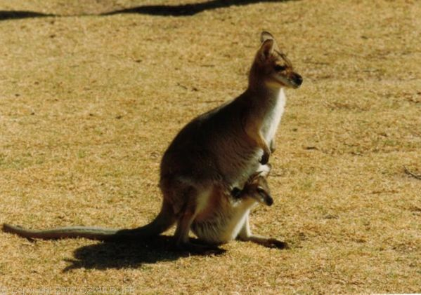 Red-necked Wallaby | Macropus rufogriseus photo