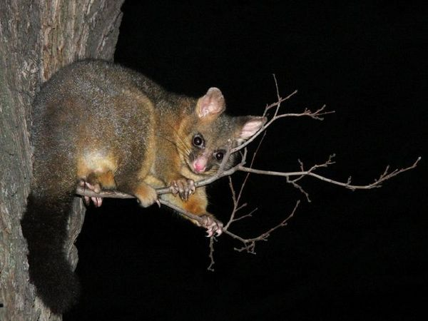 http://www.ozanimals.com/image/albums/australia/Mammal/normal_Nickolay_Tilcheff-BrushTail_06.jpg