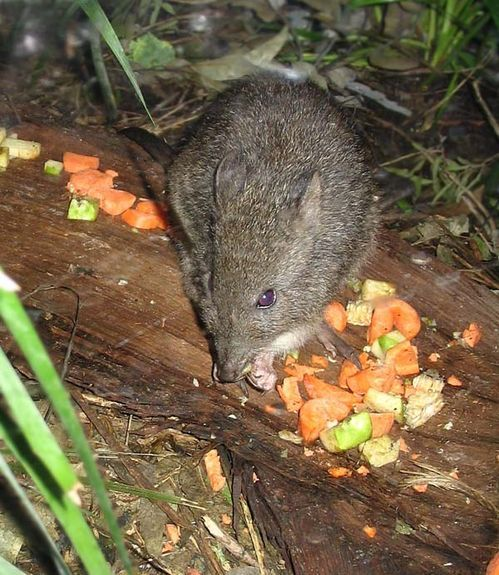 Long-nosed Potoroo | Potorous tridactylus photo