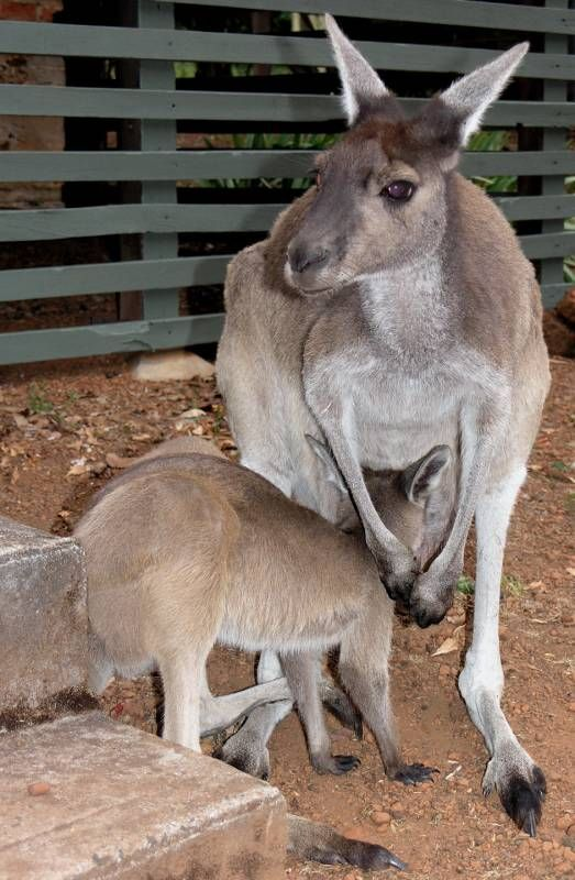 Western Grey Kangaroo | Macropus fuliginosus photo
