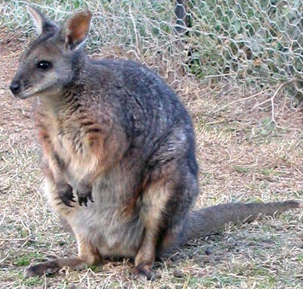 Tammar Wallaby | Macropus eugenii photo