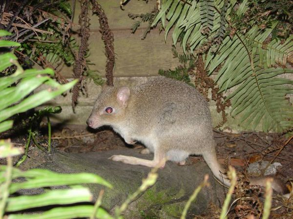 Tasmanian Bettong | Bettongia gaimardi photo