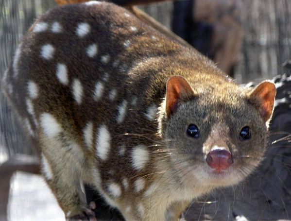 Tiger Quoll | Dasyurus maculatus photo
