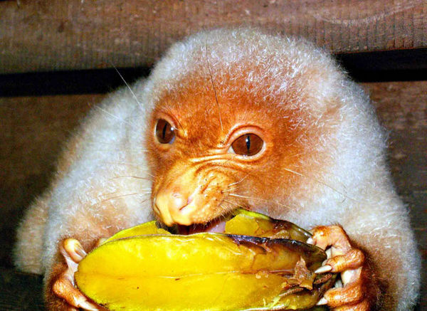 Spotted Cuscus | Spilocuscus maculatus photo