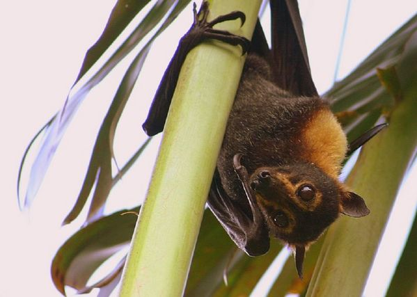 Spectacled Flying-fox | Pteropus conspillatus photo