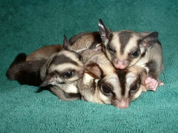 Image result for sugar gliders family