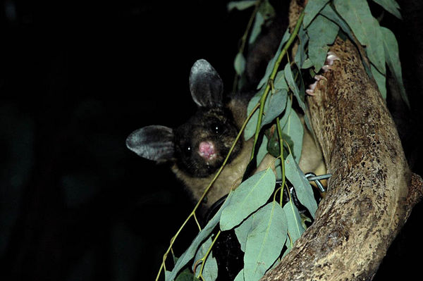Yellow-bellied Glider | Petaurus australis photo