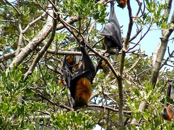 Grey-headed Flying-fox | Pteropus poliocephalus photo