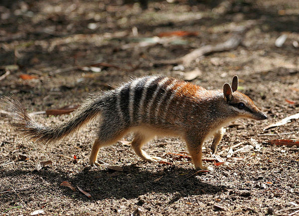 Numbat | Myrmecobius fasciatus photo