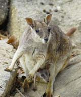 Mareeba Rock-wallaby