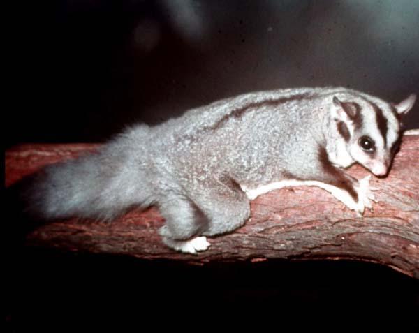 Squirrel Glider | Petaurus norfolcensis photo