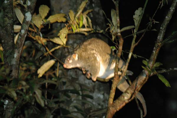 Green Ringtail Possum | Pseudocheirus archeri photo