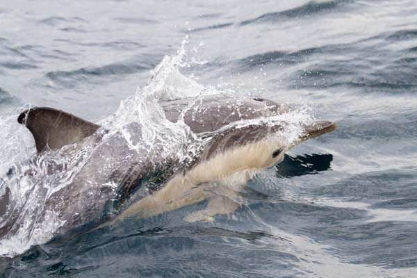Short-beaked Common Dolphin | Delphinus delphis photo