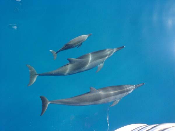 Spinner Dolphin   Stenella longirostris photo