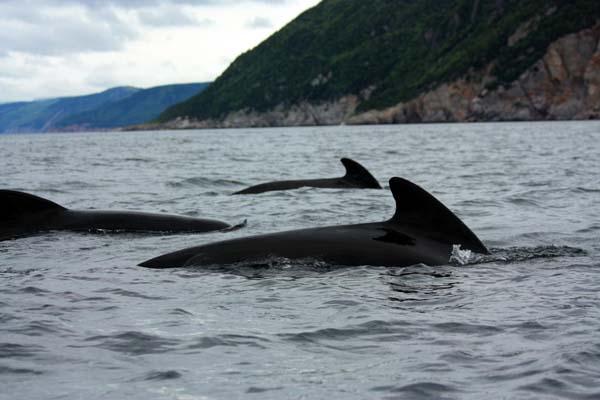 Long-finned Pilot Whale   Globicephala melas photo