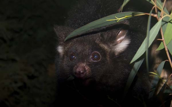 Greater Glider | Petauroides volans photo