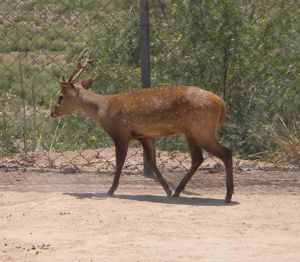 Hog Deer   Cervus porcinus photo