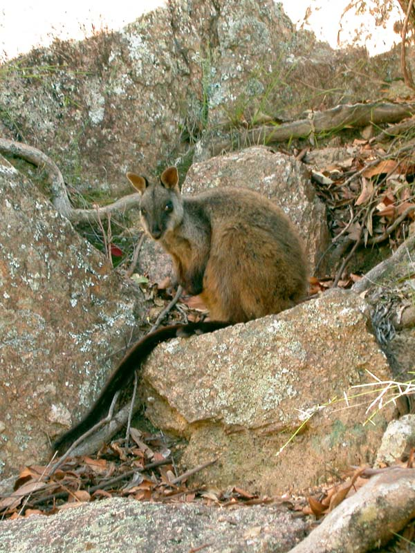 Brush-tailed Rock-wallaby | Petrogale penicillata photo