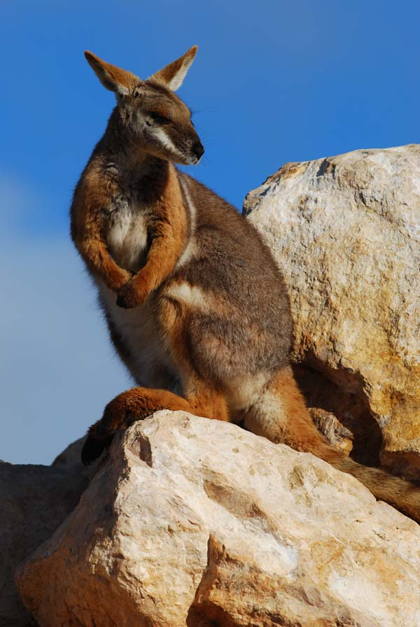 Yellow-footed Rock-wallaby | Petrogale xanthopus photo