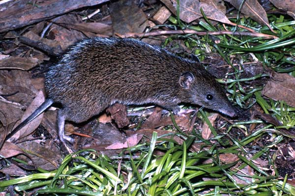 Southern Brown Bandicoot | Isoodon obesulus photo