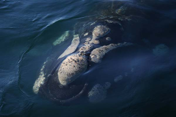 Southern Right Whale | Eubalaena australis photo