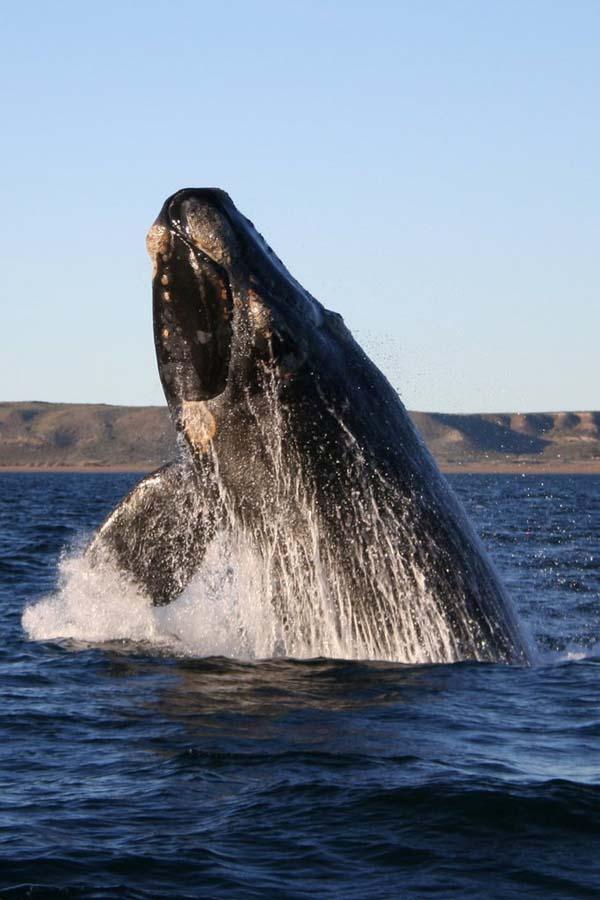 Southern Right Whale | Eubalaena australis photo