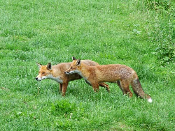 Red Fox   Vulpes vulpes photo