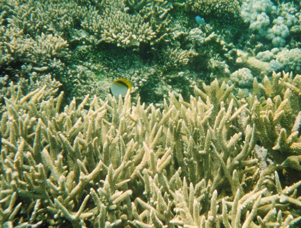 Staghorn Coral | Acropora sp photo