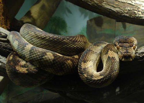 Amythystine Python | Morelia amethistina photo