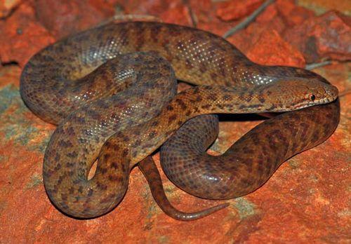Pygmy python | Antaresia perthensis photo