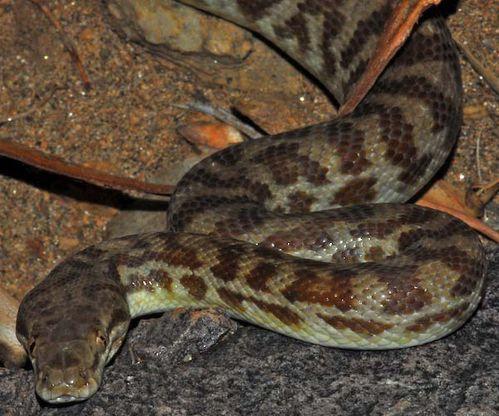 Stimson's Python | Antaresia stimsoni photo