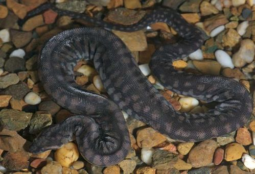 Arafura File Snake | Acrochordus arafurae photo