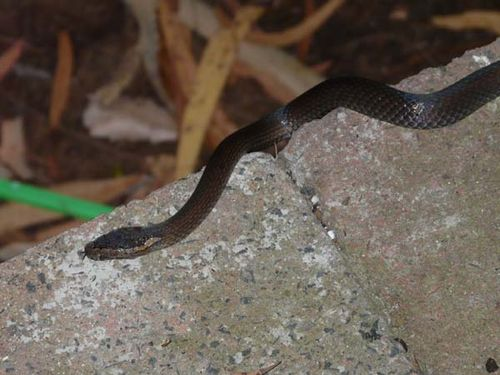 Golden-crowned snake | Cacophis squamulosus photo