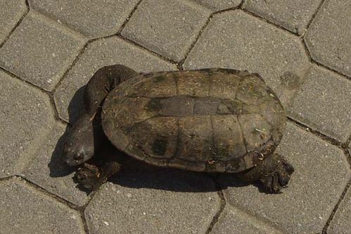 Oblong Turtle | Chelodina oblonga photo