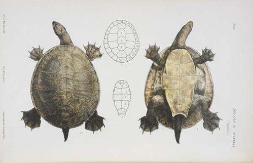 Murray Turtle | Emydura macquarii photo