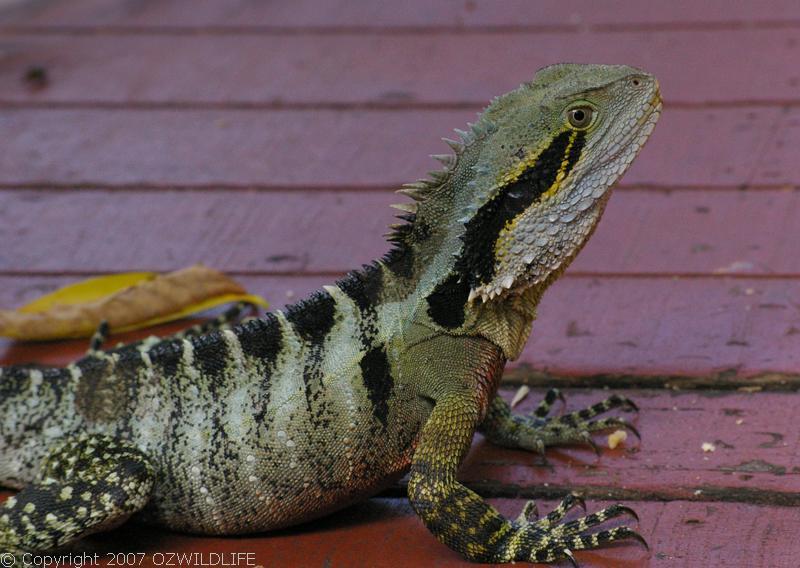 Australian Wildlife - Reptile: Water Dragon