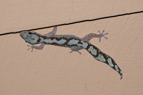 Robust Velvet Gecko | Oedura robusta photo