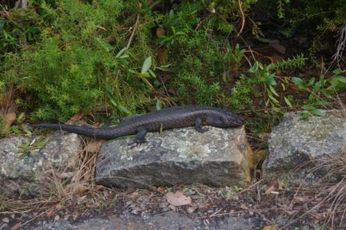King's Skink | Egernia kingii photo