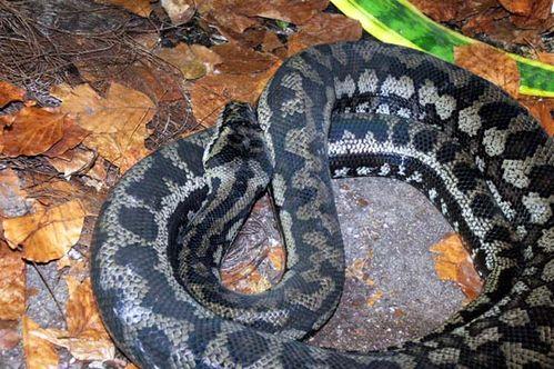 Northwestern Carpet Python | Morelia spilota variegata photo