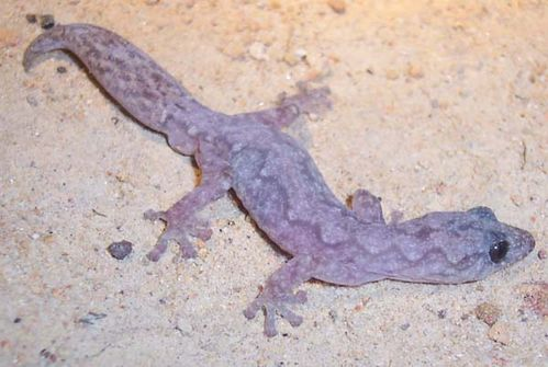 Velvet Gecko | Oedura lesueurii photo