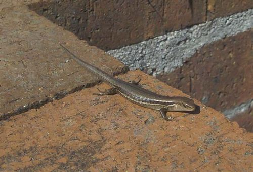 Pale-flecked Garden Sunskink | Lampropholis guichenoti photo
