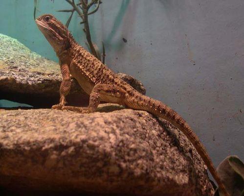 Lawson's dragon | Pogona henrylawsoni photo