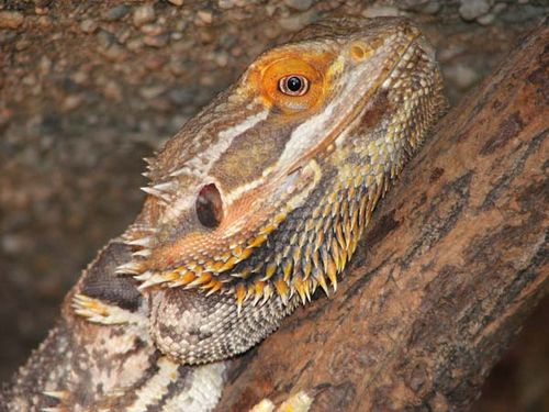 Central Bearded Dragon | Pogona vitticeps photo