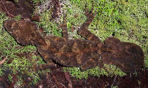 Southern Leaf-tailed Gecko | Saltuarius swaini photo