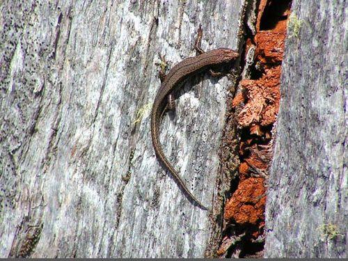 Tasmanian Tree Skink | Niveoscincus pretiosus photo