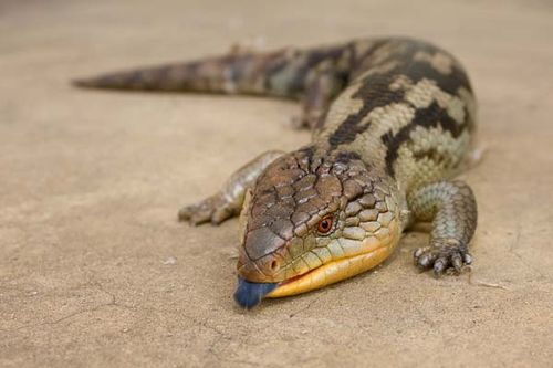 Blotched Blue-tongue Lizard | Tiliqua nigrolutea photo