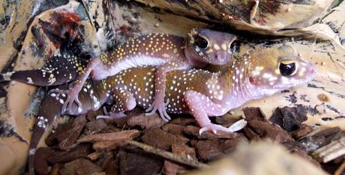 Barking Gecko   Underwoodisaurus milii photo