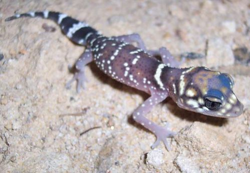 Barking Gecko | Underwoodisaurus milii photo