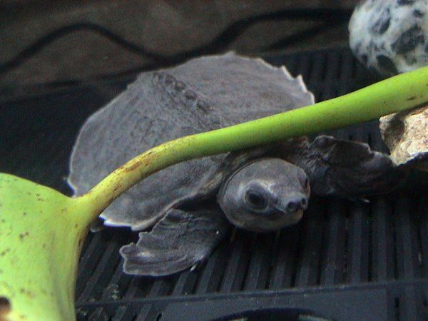 Pig-nose Turtle | Carettochelys insculpta photo